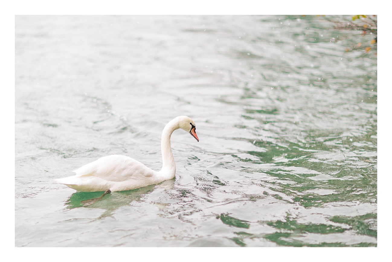 Photo d'un cygne à Annecy à l'occasion d'un shooting sous la neige